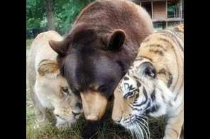 Lion, Tiger And Bear Get Along In Harmony