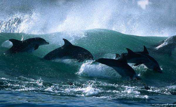 Surfing with dolphins2