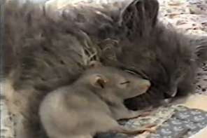 Cat And Mouse Lying Down Together