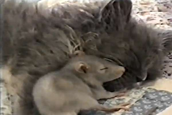 Mouse-and-Kitten-Cuddle-Video