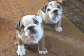 The Cutest Bulldogs You'll Ever See