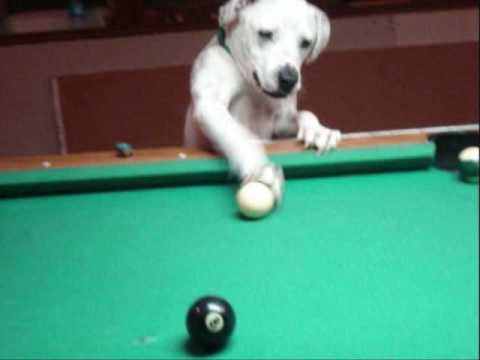 dog plays pool