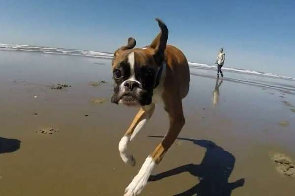 Two-legged-boxer-duncan-lou