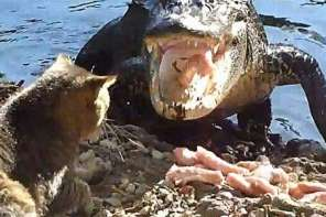Mugsy The Cat Takes on Two Alligators And Wins: Caught On Camera