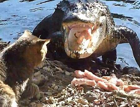 cat_vs_alligator_02