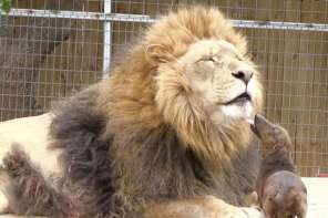 Dog wandered into a Lion's cage and The Unexpected Happened