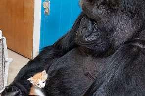 Koko The Gorilla Picks out A Pet Kitten