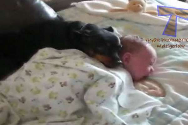 dogs and cats protecting babies2