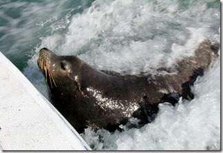 poncho the sea lion