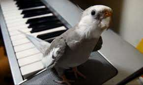 Cockatiel Sings A Song That Will Brighten Your Day