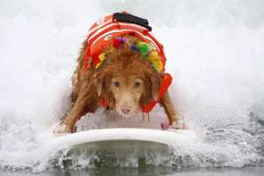 Surfing Dog Competition