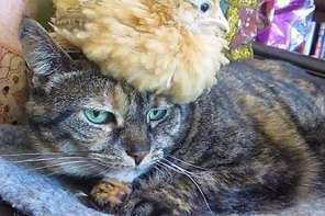 Cat Tolerates Chick