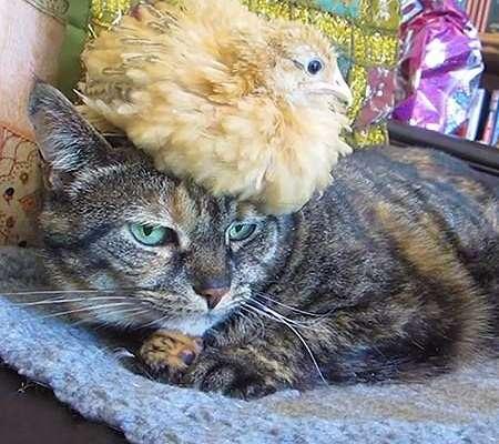 cat tolerates chicken
