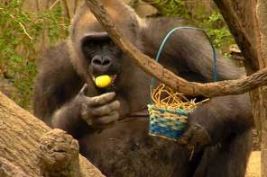 Gorillas Go On Easter Egg Hunt