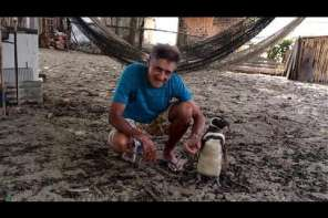 This Penguin Swims 8,000 km Every Year To Be With His Human Friend