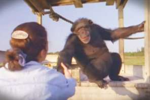 A Woman Is Reunited With CHimpanzees That She Rescuecd From A Lab Years Earlier