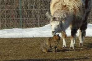 Llama And Cat Form An Unlikely Friendship