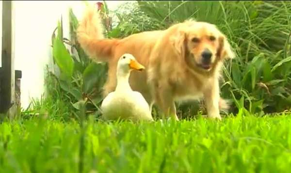 dog and duck friends