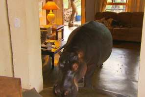 This Hippo Lives In A House