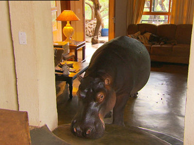 hippo lives in a house