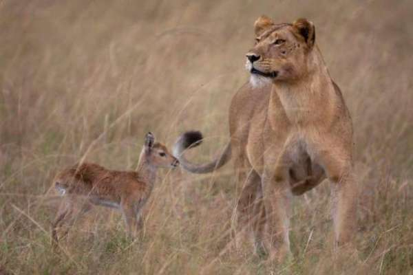 lion adopts antelope