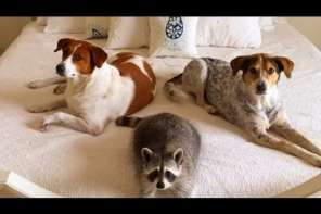Racoon And Dogs Act Like Siblings
