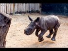 Adorable Baby Rhino Walks With Dogs