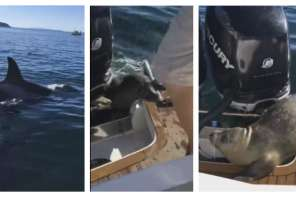 Seal Jumps Onto Boat To Escape Orca Killer Whales