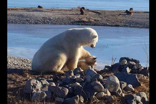 polar-bear-petting-dog-caught-on-camera-in-manitoba
