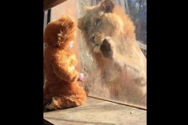 baby-in-lion-costume-meets-the-real-thing