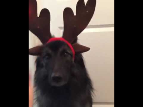 this-dog-loves-being-a-reindeer