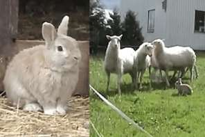 Meet Champis, The Sheep Herding Rabbit