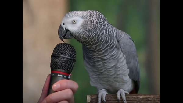 parrot does the best impressions 1