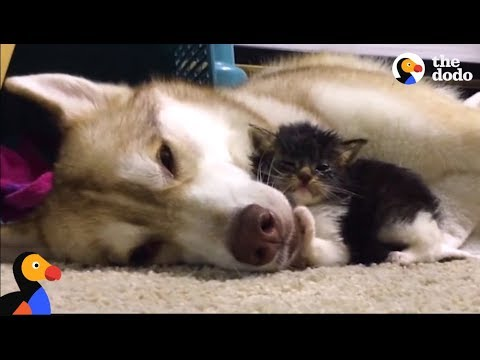 husky dog adopts cat