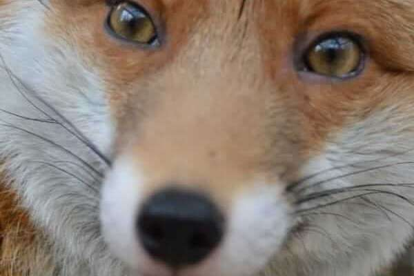 tiny red fox too tame for wild