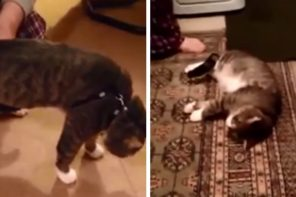 Cat Plays Dead To Avoid Leash
