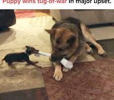 Puppy Wins Tug Of War