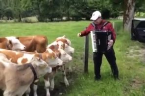 Grazing Cows Come To Listen To Accordion Music