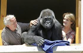 This Couple Lives With A Gorilla