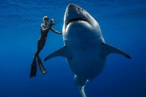 Diver Swims With Great White Shark