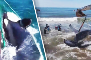 Good Samaritans Help Trapped Whales
