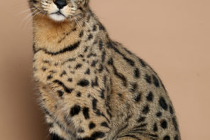 The Savannah Cat: The Largest Cat There Is