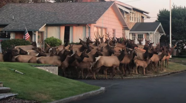 Massive Herd Of Elk Gather At Oregon Home.