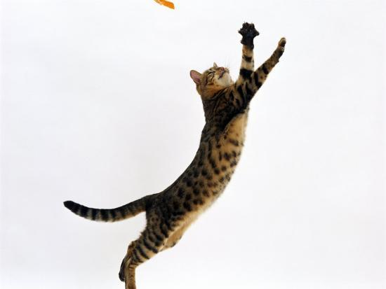 Amazing Bengal Cats Leaping