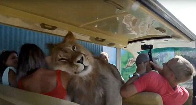 Lion Climbs Onto Tourist Bus For Hugs